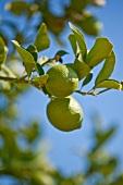 Two lemons on a lemon tree