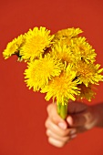 A hand holding a bunch of dandelions