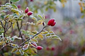 Frosty rosehips on twig
