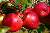 Rote Äpfel am Zweig