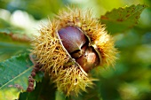 A chestnut on a branch
