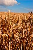 Ripe ears of wheat in a field