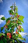 Blooming bean plant