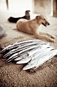 Fresh Whole Barracudas; Dogs