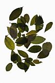 Getrocknete Coca-Blätter (Erythroxylum coca)