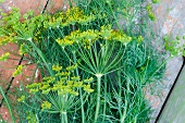 Dill with flowers