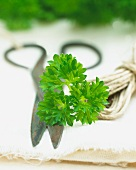 Fresh parsley with a pair of herb scissors