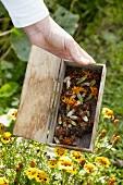 Tagetes-Samen in Holzschachtel