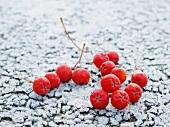Rowan berries on hoarfrost