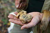 A truffle hunter presenting white Alba truffles