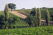 A vineyard belonging to the Arnaldo Caprai winery, Montefalco, Umbria