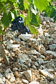 A young Sangiovese vine growing from stony earth, Fonterutoli winery, Tuscany