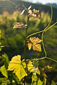 A vine in the sunlight (Vully, Switzerland)