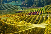 Autumnal vineyards in the Vully wine growing region at Murtensee Lake (Switzerland)