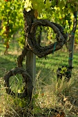 A vine in an experimental vineyard (Arnaldo Caprai, Umbria), quantity regulation without pruning the vines - an unorthodox form of cultivation
