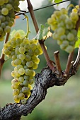 Petite Arvine grapes on a vine