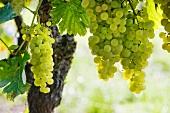 Ugni Blanc, die Traubensorte für Cognac (Weingut Patrick Brisset, Saint Preuil, Grande Champagne)