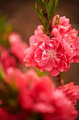 Peach blossom on branch