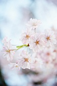 Close Up of Weeping Cherry Tree Blossoms