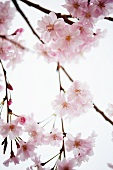 Blooming Weeping Cherry Tree Branches