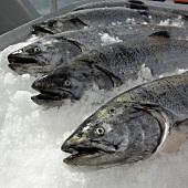 Whole Fresh Salmon on Ice