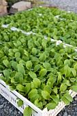 Lettuce seedlings in crates