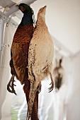 Pheasants hanging up
