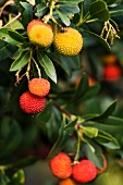 A strawberry tree with fruit (close-up)