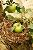 Green Apples on the Tree; One in a Birds Nest
