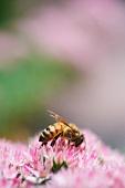Honeybee Gathering Pollen on Flower Head