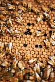 Honeycomb with Worker Bees
