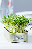 Fresh cress growing in a small tin with a label