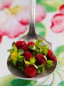 Small Wild Strawberries on a Spoon