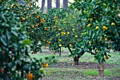Lemon trees in Menton (Southern France)