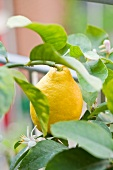 Lemon on the tree
