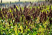 A field of amaranth