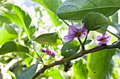 Aubergine flowers on a branch