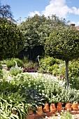 Umgedrehte Terrakottatöpfe als Beetrand vor Purpursalbei und weisser Mohnblüten