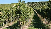 A vineyard in Deutschkreutz, Austria