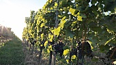Blaufränkisch grapes on a vines in Burgenland, Austria