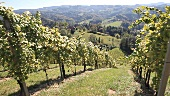 Weinanbau im Pössnitzberg, Steiermark Österreich