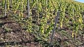 A vineyard in Pössnitzberg, Steiermark, Austria