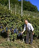 Aldo Conterno mit Nebbiolo-Trauben in seinem Weinberg in La Cicala Bussia, Piemont, Italien