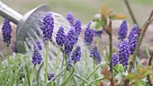Grape hyacinths being watered with a watering can