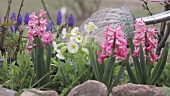 Hyacinths and primroses being watered with a watering can
