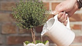 Thyme in a pot being watered