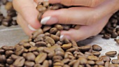 Female hands gathering coffee beans