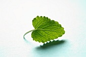 A lemon balm leaf
