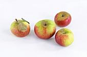 Vier Äpfel der Sorte Prinz Albrecht