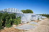 Tomato plants in poly tunnels